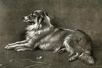 A Sheep Dog, 1901-Walter Hunt-Giclee Print