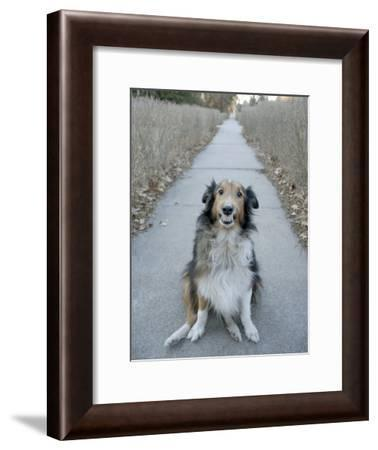 A Sheltie Dog Smiles While Sitting on a Neighborhood Sidewalk-Joel Sartore-Framed Photographic Print