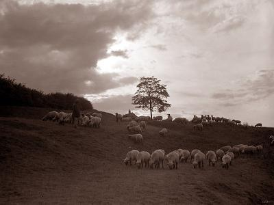 A Shepherd Surveys His Flock at the End of the Day, 1935--Photographic Print