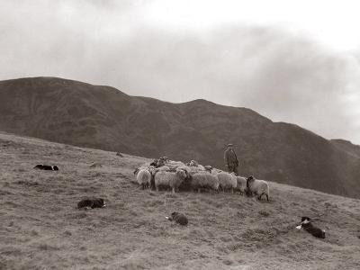 A Shepherd with His Border Collie Sheep Dogs Checks His Flock Somewhere on the Cumbrian Hills, 1935--Photographic Print