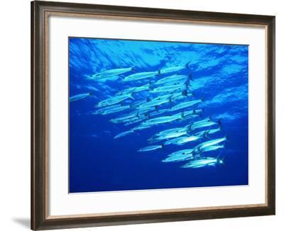 A Shoal of Black-Tail Barracudas (Sphyraena Qenie)-Andrea Ferrari-Framed Photographic Print