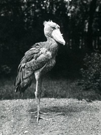 A Shoebill or Whale-Headed Stork at London Zoo, June 1914-Frederick William Bond-Photographic Print