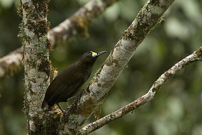 A Short Tailed Paradigalla Perches on a Tree Branch-Tim Laman-Photographic Print