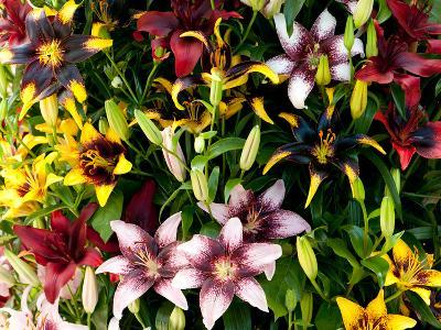 A Showy Arrangement of a Mix of Lily Flowers, Lilium Species-Darlyne A^ Murawski-Photographic Print