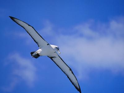 A Shy Albatross in Flight in a Clear Blue Sky, This Species is Considered Vulnerable-Jason Edwards-Photographic Print