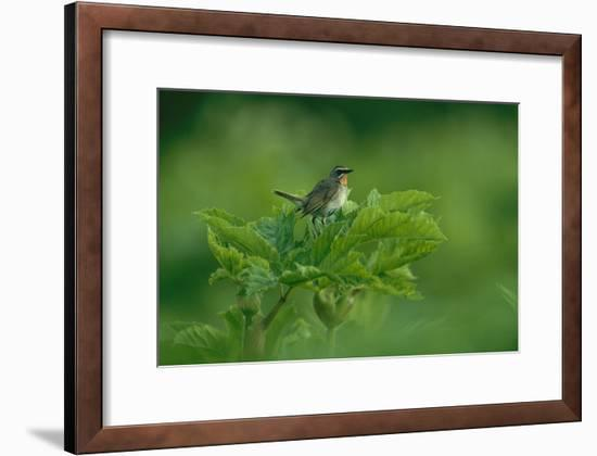 A Siberian Rubythroat Perched on a Plant-Klaus Nigge-Framed Photographic Print