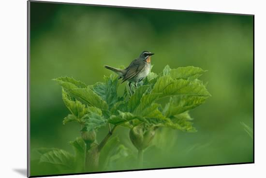 A Siberian Rubythroat Perched on a Plant-Klaus Nigge-Mounted Photographic Print