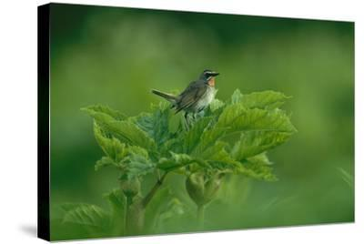 A Siberian Rubythroat Perched on a Plant-Klaus Nigge-Stretched Canvas Print