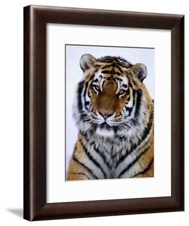 A Siberian Tiger at the Minnesota Zoological Garden-Michael Nichols-Framed Photographic Print
