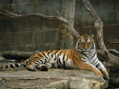 A Siberian Tiger Rests in Her Outdoor Enclosure-Joel Sartore-Photographic Print