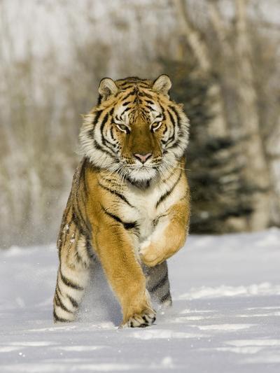 A Siberian Tiger Running in the Snow (Panthera Tigris Altaica), an Endangered Species-Joe McDonald-Photographic Print