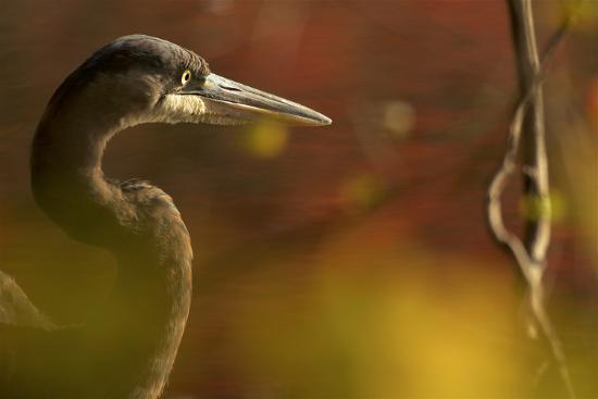 A side view portrait of a great blue heron, Ardea herodias,  though green foliage.-Tim Laman-Photographic Print