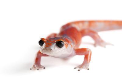 A Sierra Nevada Ensatina Salamander, Ensatina Eschscholtzi Platensis-Joel Sartore-Photographic Print