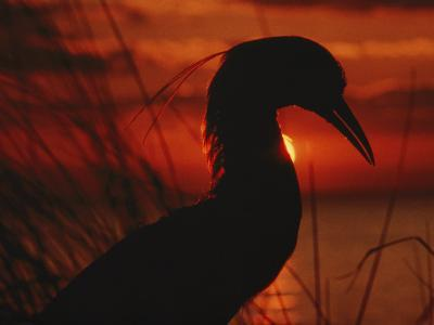 A Silhouette of a Heron Standing in Tall Grass at Sunset-Todd Gipstein-Photographic Print