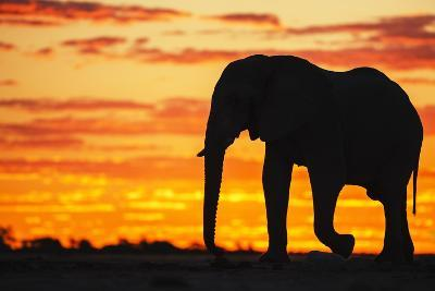 A Silhouette of a Large Male African Elephant Against a Golden Sunset-Jami Tarris-Photographic Print