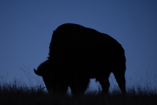 A Silhouetted American Bison, Bison Bison, Grazing at Twilight-Michael Forsberg-Photographic Print