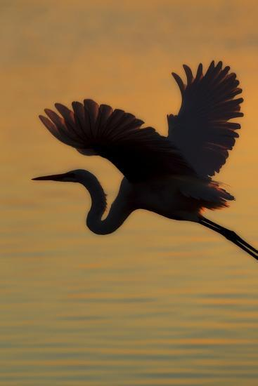 A Silhouetted Great Egret, Ardea Alba, Flying Over Water at Sunset-Robbie George-Photographic Print