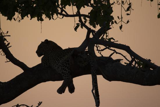 A Silhouetted Leopard Lying in a Tree at Sunset-Beverly Joubert-Photographic Print