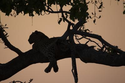 https://imgc.artprintimages.com/img/print/a-silhouetted-leopard-lying-in-a-tree-at-sunset_u-l-pyybq80.jpg?p=0