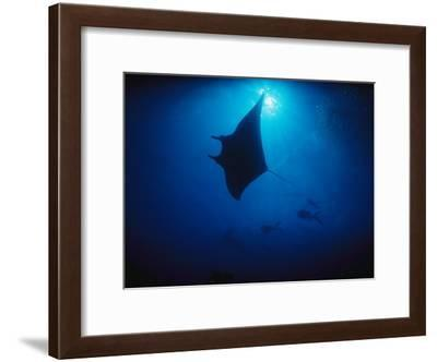 A Silhouetted Manta Ray Swims in Deep Blue Water-Raul Touzon-Framed Photographic Print