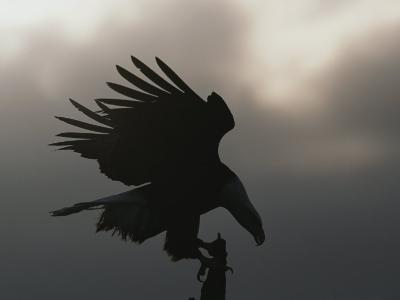 A Silhouetted Northern American Bald Eagle-Norbert Rosing-Photographic Print