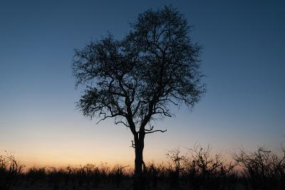 A Silhouetted Tree at Dusk in the Okavango Delta-Sergio Pitamitz-Photographic Print