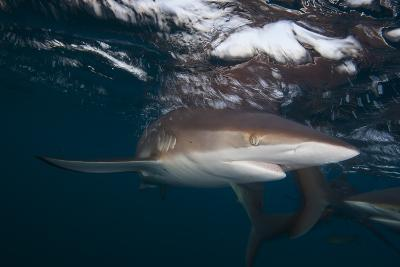 A Silky Shark Patrols the Rich Coral Reefs of Gardens of the Queen-Jennifer Hayes-Photographic Print