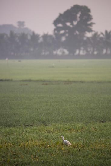 A Single Cattle Egret, Bubulcus Ibis, Walks Through a Field in the Backwaters-Kelley Miller-Photographic Print