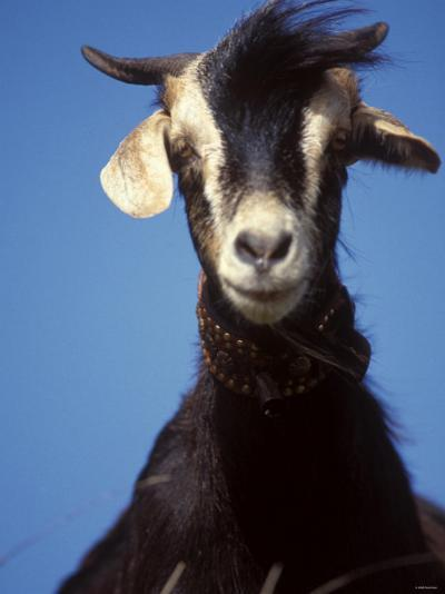 A Single Goat--Photographic Print
