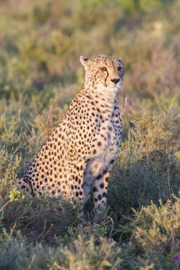 A Single Male Cheetah Sittings in the Grass, Ngorongoro, Tanzania-James Heupel-Photographic Print