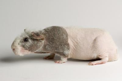 A 'Skinny Pig', Cavia Porcellus, a Hairless Guinea Pig Breed.-Joel Sartore-Photographic Print
