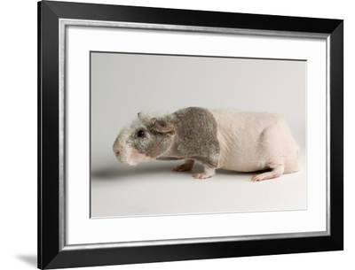 A 'Skinny Pig', Cavia Porcellus, a Hairless Guinea Pig Breed.-Joel Sartore-Framed Photographic Print