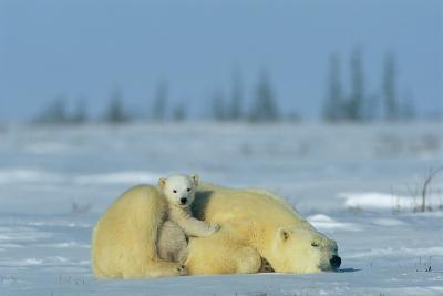 A Sleepy Polar Bear Mother (Ursus Maritimus) Serves As a Protective Bed for Her Cub-Norbert Rosing-Photographic Print