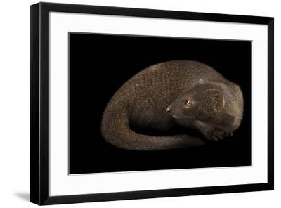 A slender mongoose, Galerella sanguinea, at the Plzen Zoo.-Joel Sartore-Framed Photographic Print