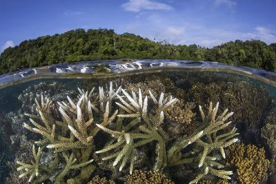 A Slightly Bleached Staghorn Coral Colony in the Solomon Islands-Stocktrek Images-Photographic Print