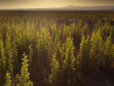 A Small Area of Green Vegetation in the Atacama Desert at Sunset-Alex Saberi-Photographic Print