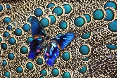https://imgc.artprintimages.com/img/print/a-small-blue-butterfly-on-malayan-peacock-pheasant-feather-design_u-l-pypijz0.jpg?p=0