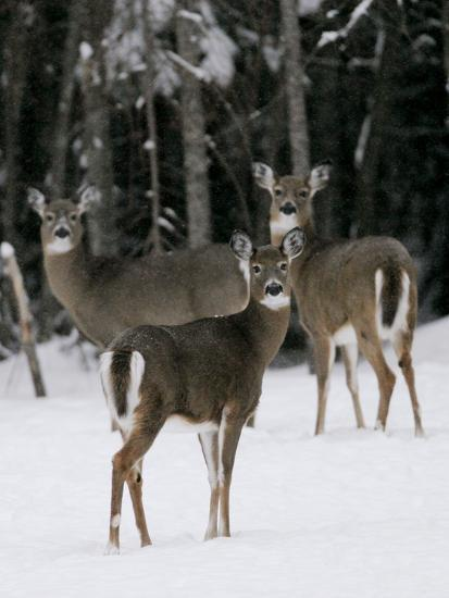 A Small Herd of White-Tailed Deer Wait at the Edge of the Woods--Photographic Print