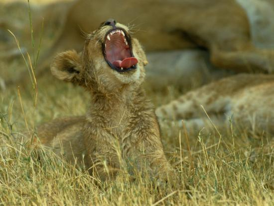 A Small Lion Cub Raises its Head into the Air and Yawns-Beverly Joubert-Photographic Print