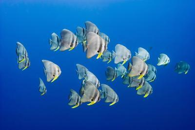 A Small School of Batfish Swim in Kimbe Bay's Jayne's Gulley-David Doubilet-Photographic Print