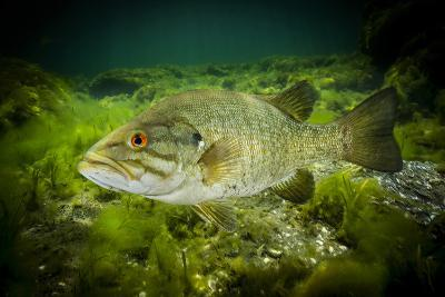 A Smallmouth Bass Defends His Nest in the Saint Lawrence River-David Doubilet-Photographic Print