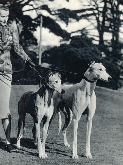 A Smart Young Woman Taking Two Magnificent, Muscular Greyhounds for their Daily Exercise--Photographic Print
