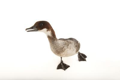 A Smew, Mergellus Albellus, at the Kansas City Zoo-Joel Sartore-Photographic Print