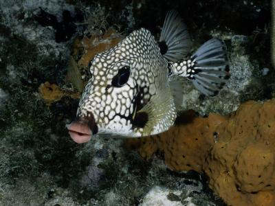 A Smooth Trunkfish Emerges from the Coral-Wolcott Henry-Photographic Print