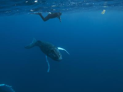 A Snorkeler Swims with a Humpback Whale Calf-Cesare Naldi-Photographic Print