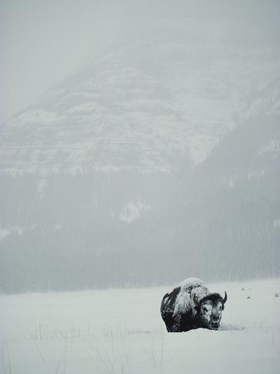 A Snow-Covered American Bison Stands on a Snowy Plain-Michael S^ Quinton-Photographic Print