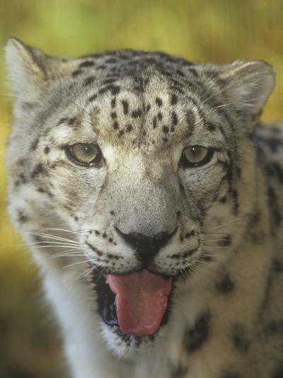 A Snow Leopard Face, Panthera Uncia, Asia-Adam Jones-Photographic Print