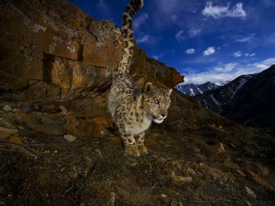 A snow leopard signals its presence by urinating beside his trail-Steve Winter-Photographic Print