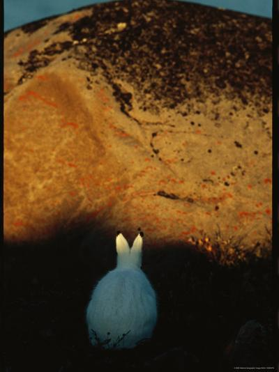 A Snowshoe Hare in Front of a Lichen Speckled Rock at Twilight-Norbert Rosing-Photographic Print