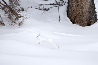 https://imgc.artprintimages.com/img/print/a-snowshoe-hare-lepus-americanus-leaping-through-a-snowy-landscape_u-l-pyy6ub0.jpg?p=0